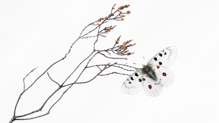 Het verhaal achter de foto: een apollovlinder op een bijzondere plek