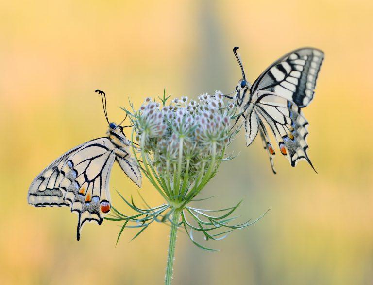 Tel mee tijdens de Vlinderteltiendaagse