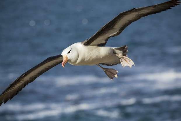Ultieme zwever: de albatros
