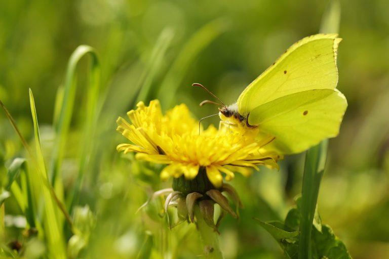 De citroenvlinder: 3 weetjes over een winterbikkel
