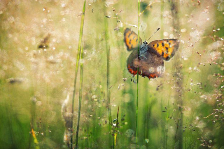Het verhaal achter de foto van de kleine vuurvlinder