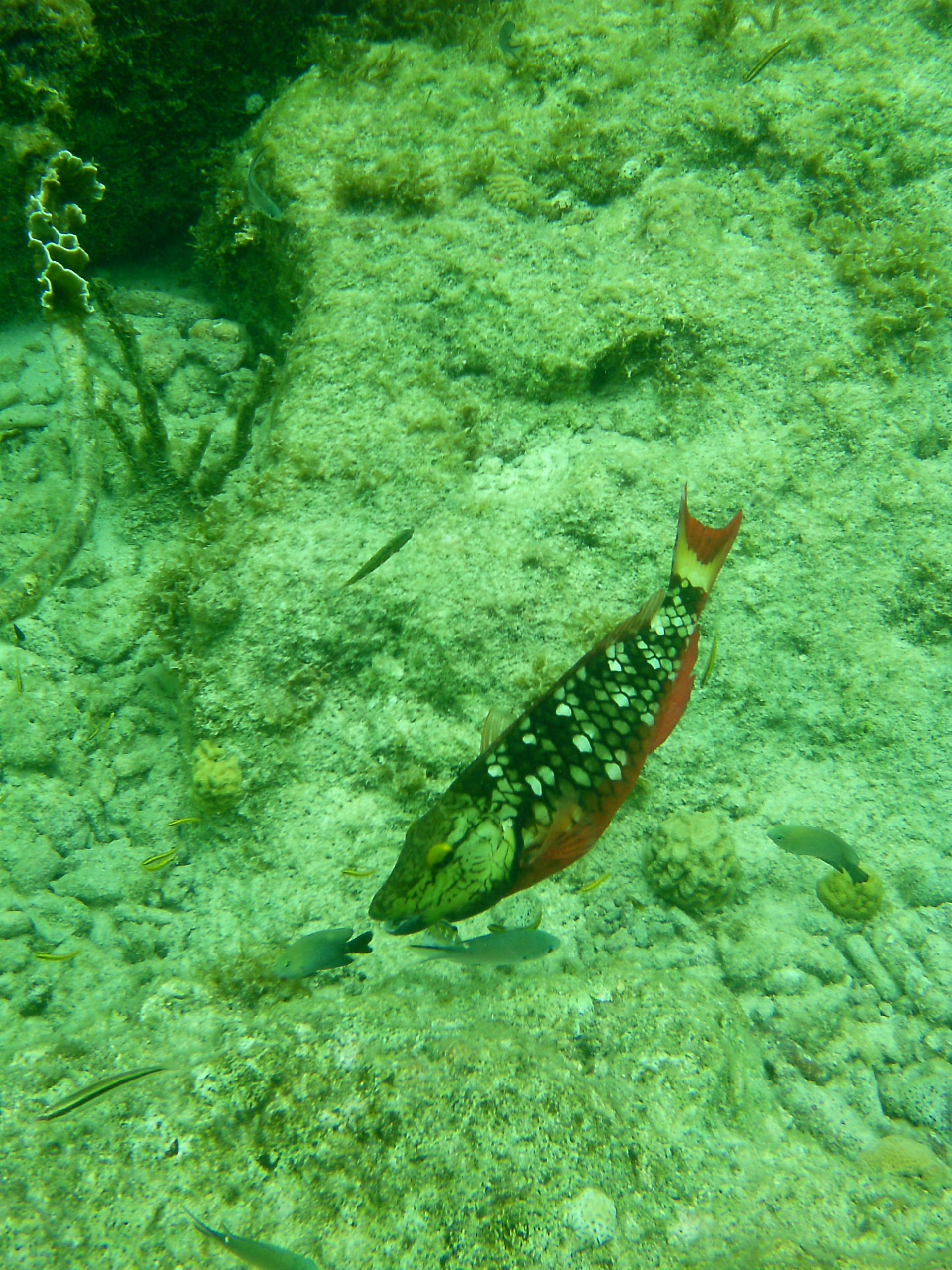 Stoplichtpapegaaivis, op de bodem ligt gebroken koraal