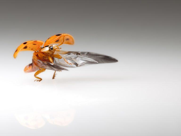 Een vliegend lieveheersbeestje fotograferen