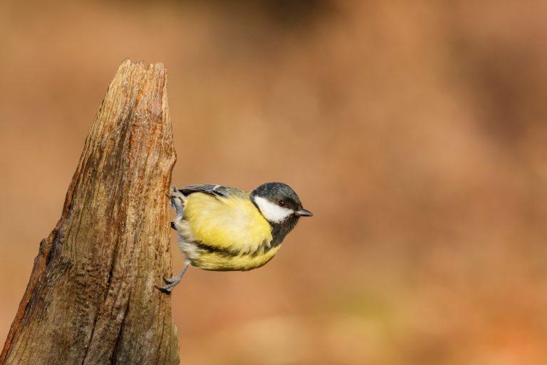 Top 10 van de meest voorkomende vogels in Nederland