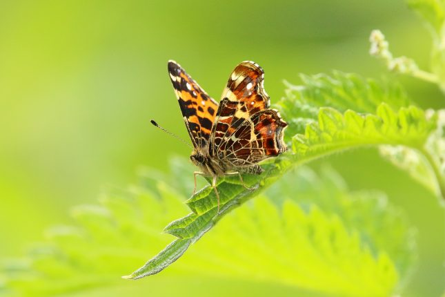 houden vlinders van brandnetels
