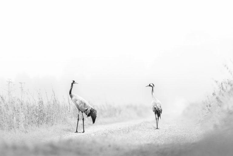 Binnenkort kan het weer: kraanvogels fotograferen in Duitsland
