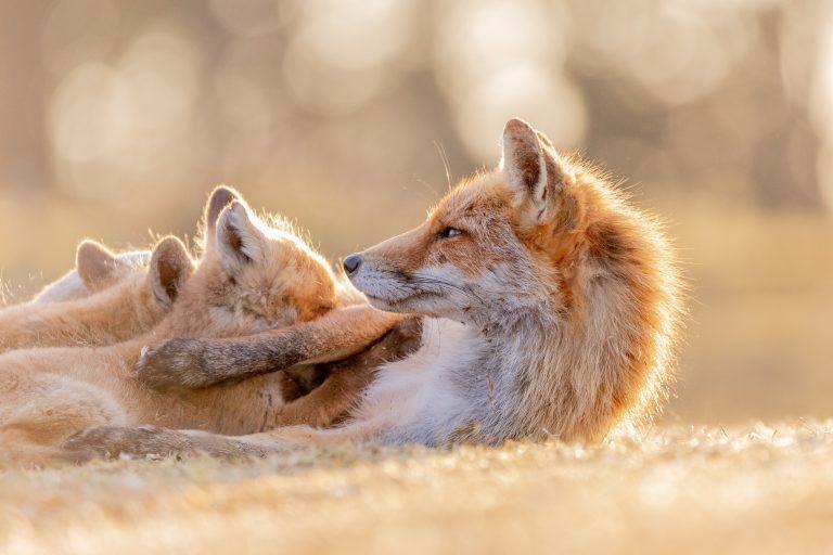 Moeder vos met kleintjes in de Waterleidingduinen
