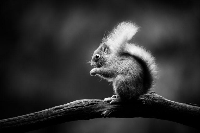 Eekhoorns fotograferen vanuit een schuilhut