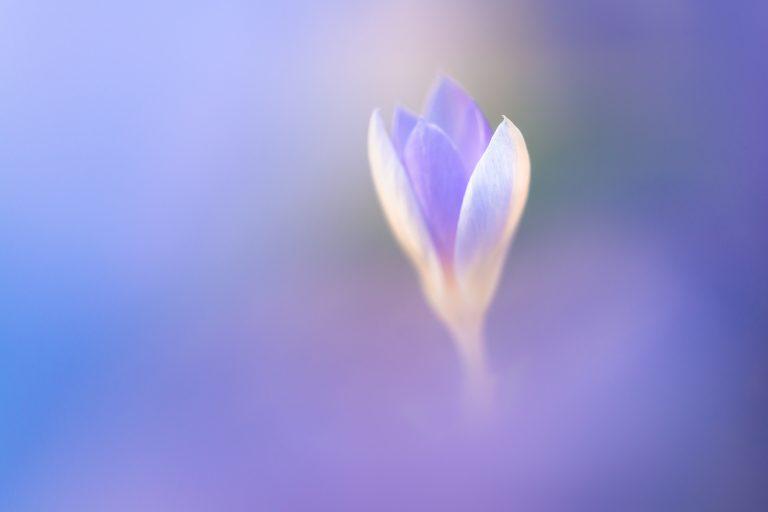 Goed plan: voorjaarsbloeiers fotograferen in eigen tuin
