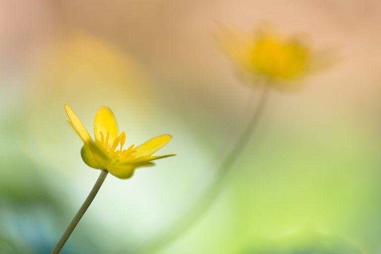 Onbekende lentebloeiers fotograferen: speenkruid in beeld