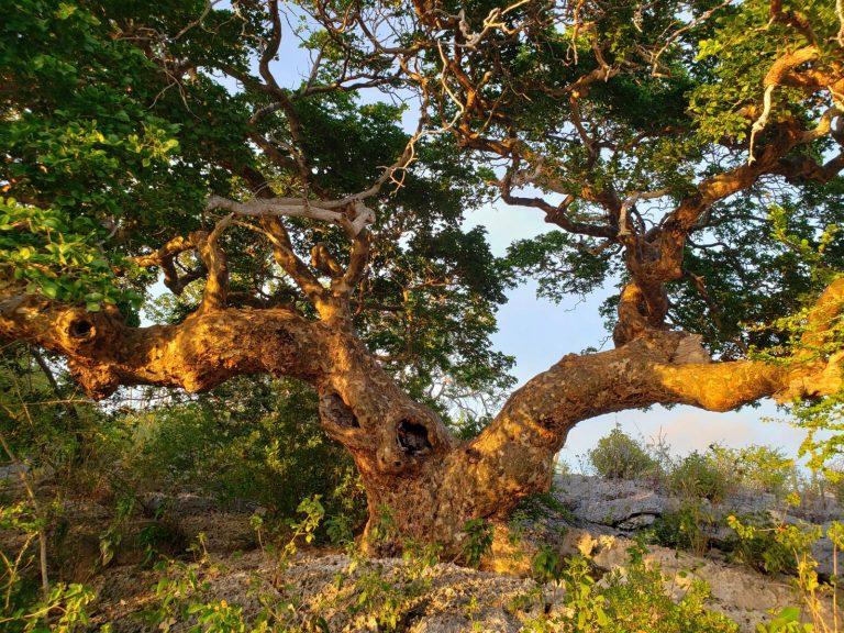 De oudste boom van Nederland staat op Bonaire