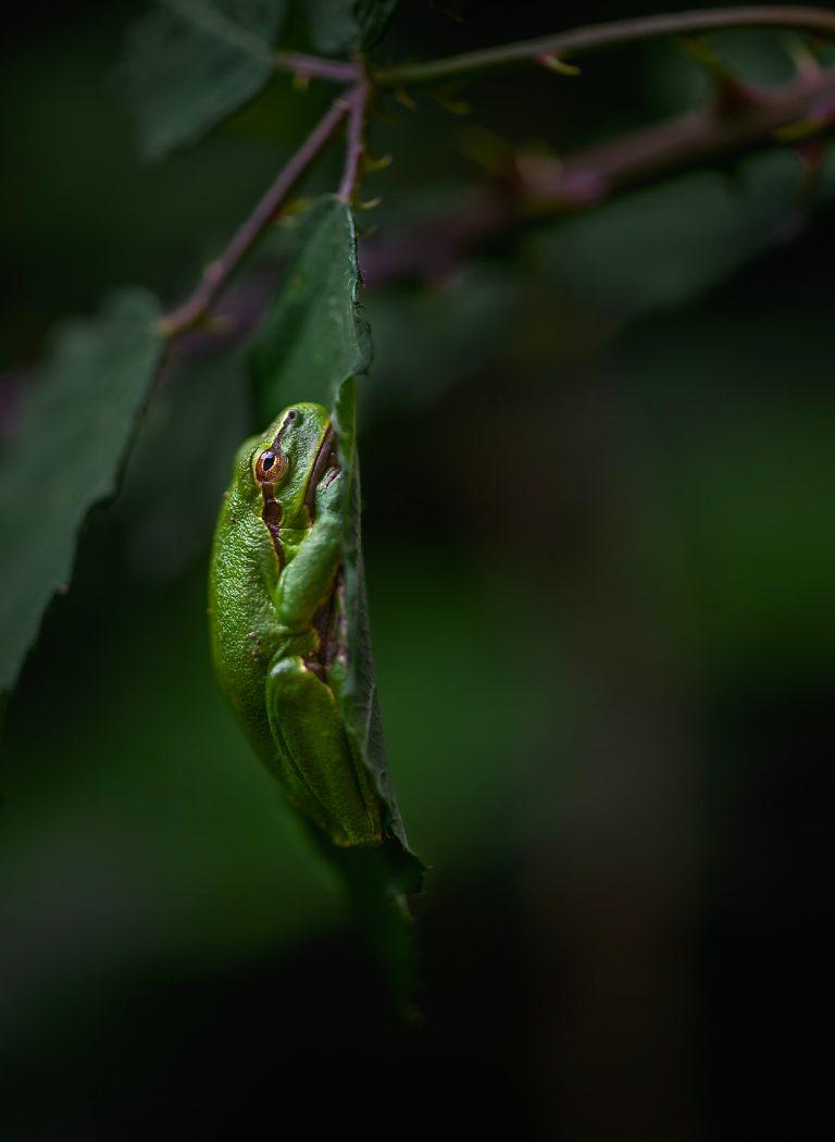 Fotograferen in de nazomer: op zoek naar boomkikkers