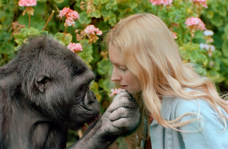 Koko de gorilla terug op tv