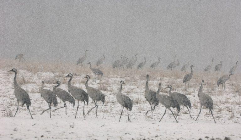 Kraanvogels kijken bij Lac du Der