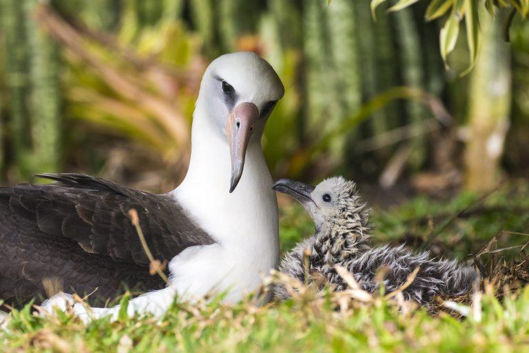 Albatros van 70 jaar oud heeft weer een kuiken gekregen