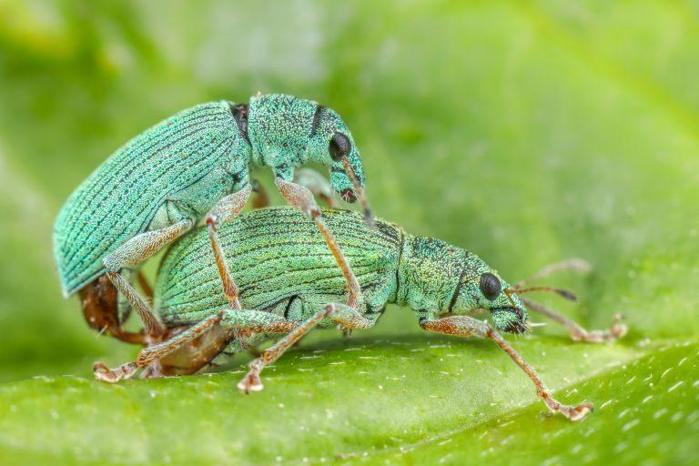 Parende groene snuitkevers