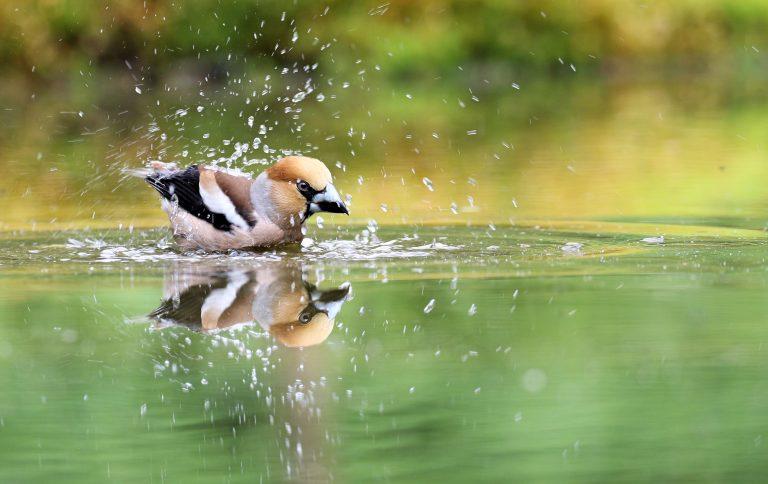 Een appelvink neemt een bad