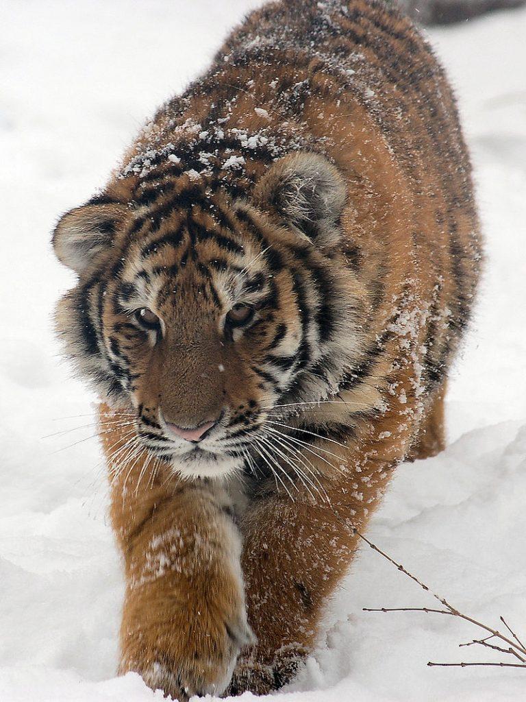 Bhutan heeft 103 tijgers