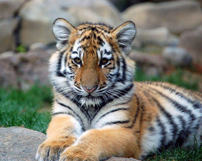 Goed nieuws voor de Siberische tijger