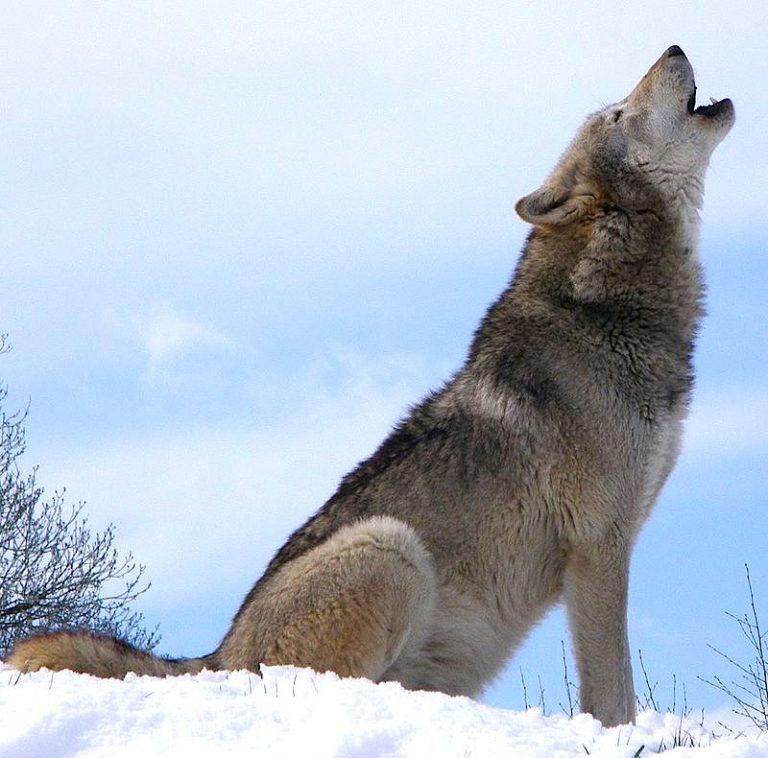 Huilen wolven naar de maan?