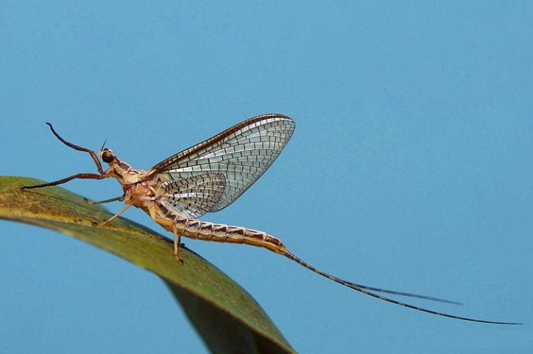 Een eendagsvlieg leeft één dag: broodjeaapverhaal?