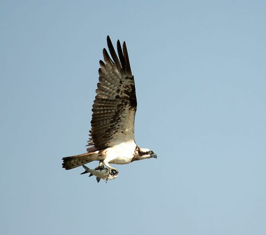 800px-Osprey_with_catch_(8231482804)