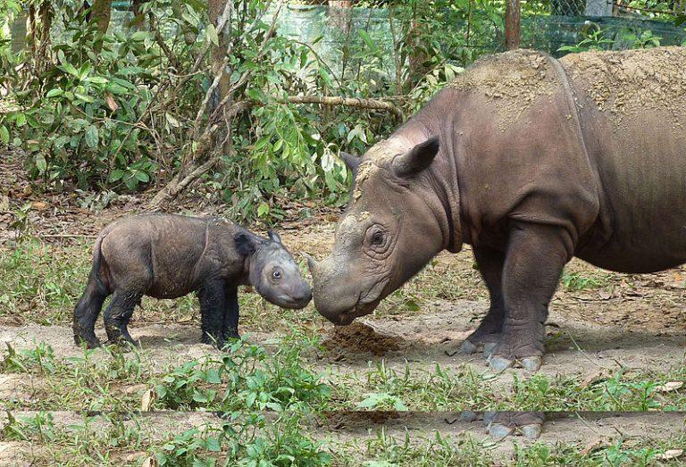Na 40 jaar is er weer een Sumatraanse neushoorn gespot