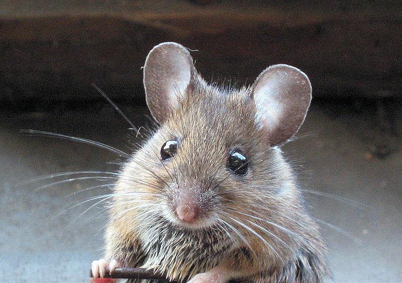 De bosmuis (foto) onderscheidt zich van de huismuis door iets grotere oren en ogen.