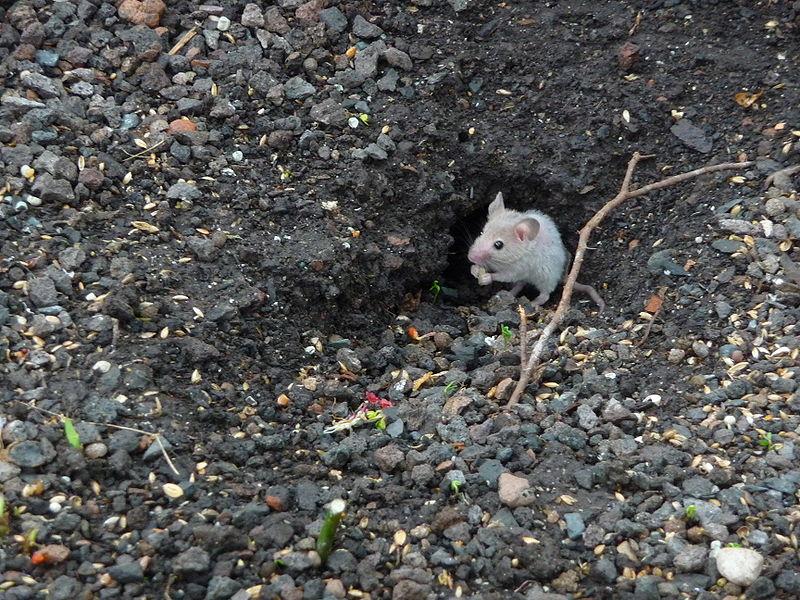 Nog een potentiële dader: de huismuis
