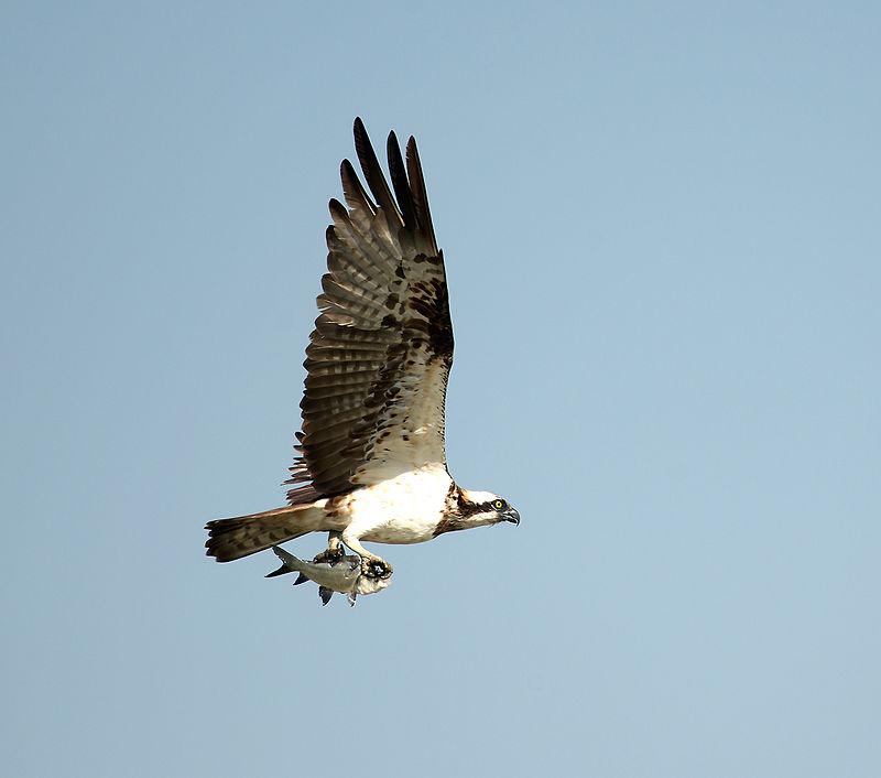 800px-Osprey_with_catch_(8231482804)
