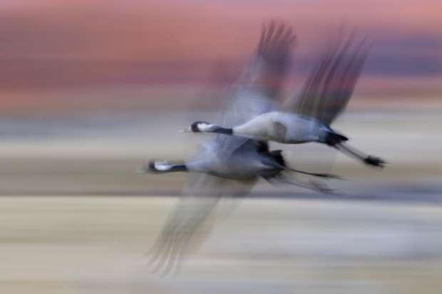 Duizenden kraanvogels onderweg!