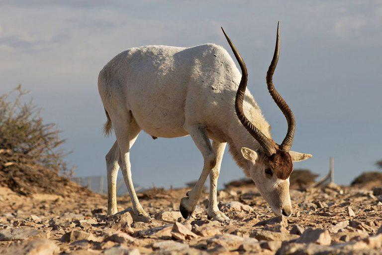 Het lot van een prachtige antilope