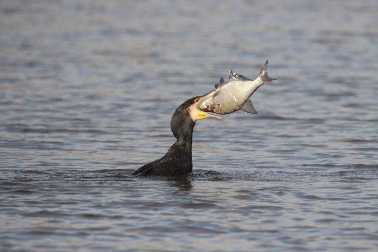 De aalscholver heeft superoren om de vissen mee te horen