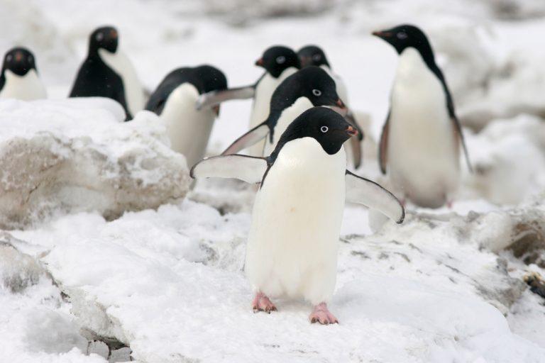 Deze pinguïn schiet zijn poep enorm hard weg – en meer over pinguïnpoep