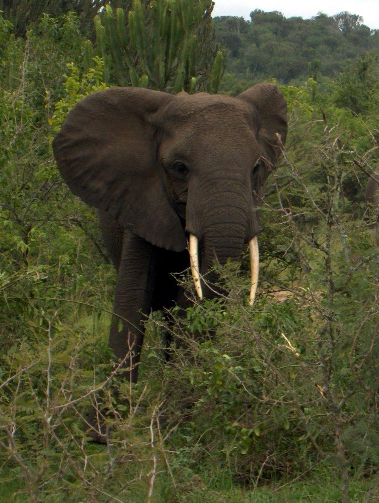 Bijen verjagen olifanten