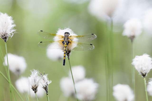 Prachtig boek over libellen in Overijssel