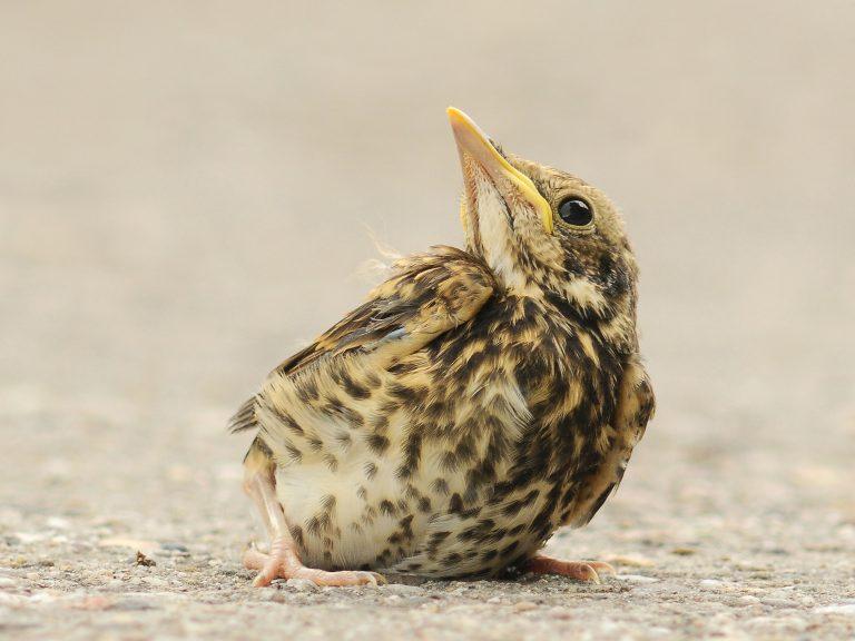Hightech olijvenoogst bedreigt zangvogels in Spanje en Portugal