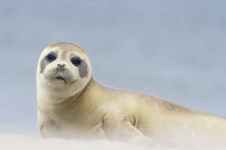 Bijten zeehonden ook mensen?