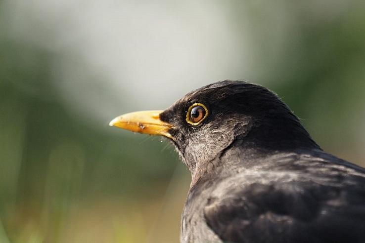Recensie over de merel: een hopeloos gedateerde stadsvogel