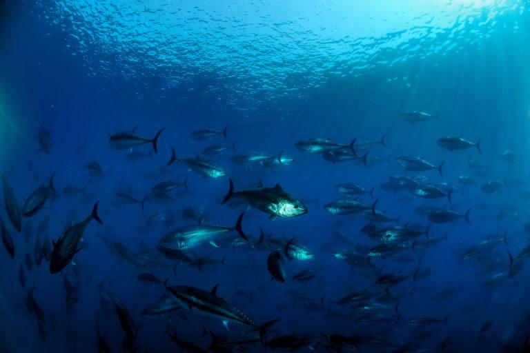 Blauwvintonijn terug in Noordzee