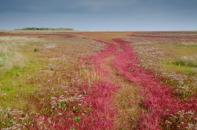 Zeekraal kleurt op deze 6 plekken in Nederland prachtig rood