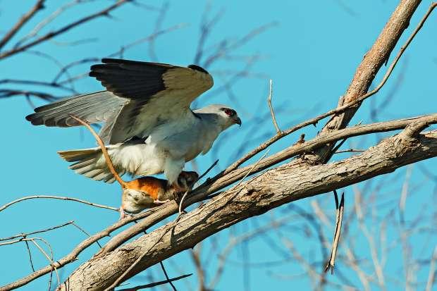 Juweel van een roofvogelgids