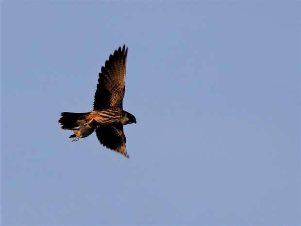 Acrobatische boomvalk