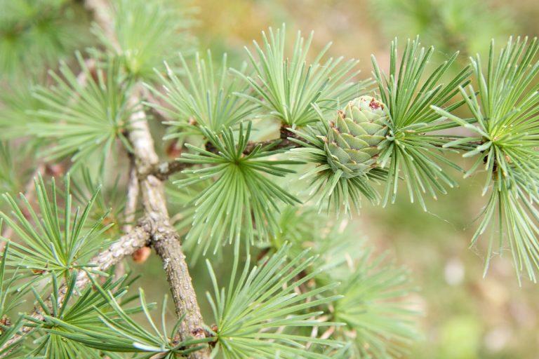 Bestaan er ook naaldbomen die hun 'blad' verliezen?