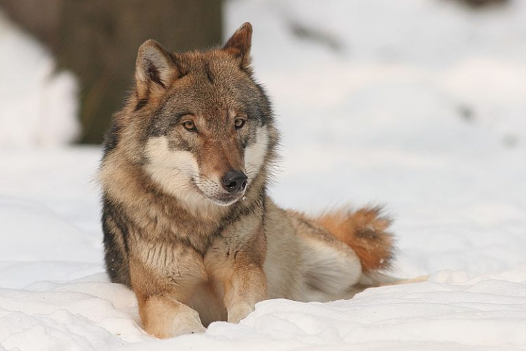 Top 10 gevaarlijkste wilde dieren van Europa