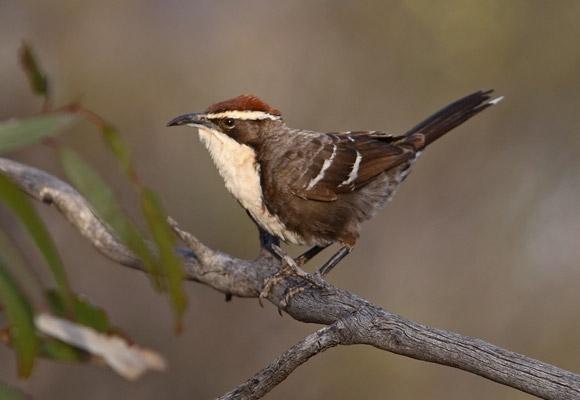 Sommige vogels praten net als mensen