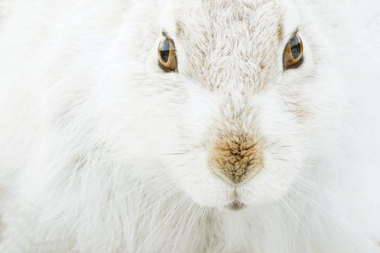 Indrukwekkende close-up van een sneeuwhaas