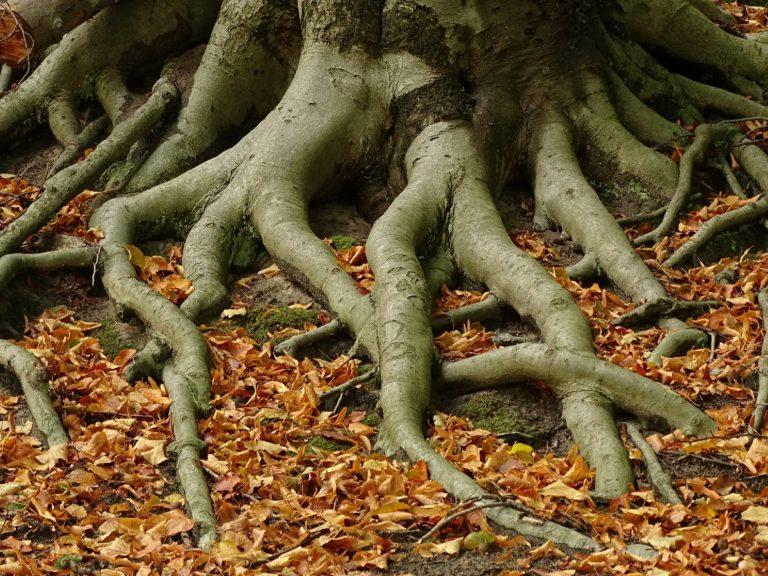 Is de kroon van een boom groter dan zijn wortelstelsel?