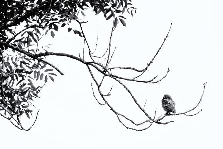 Een steenuil hoog in de boom