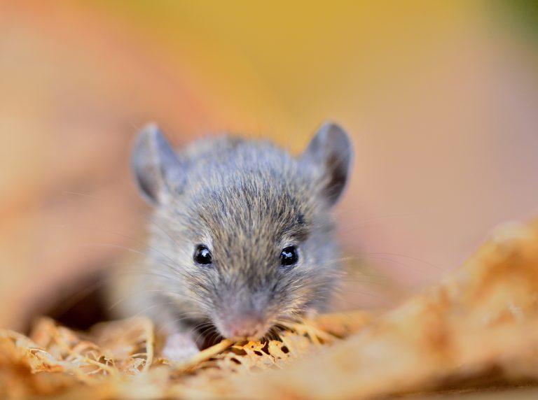 Portret van een muis